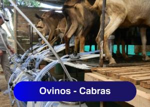 Ordeño de Ovinos y Cabras
